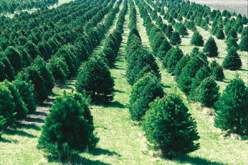 Evergreen Christmas Trees
