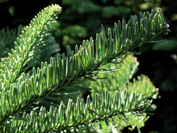 Image result for noble fir
